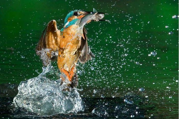 http://de.trinixy.ru/pics4/20100323/hunting_kingfisher_06.jpg