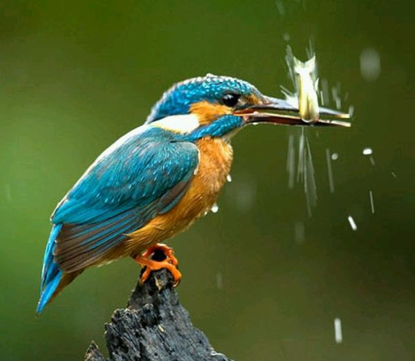 http://de.trinixy.ru/pics4/20100323/hunting_kingfisher_07.jpg