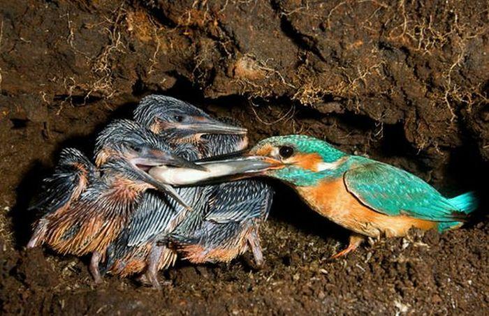 http://de.trinixy.ru/pics4/20100323/hunting_kingfisher_09.jpg
