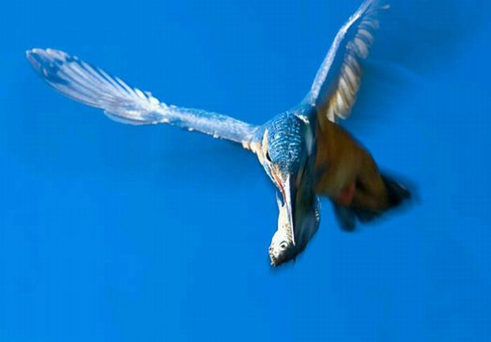 http://de.trinixy.ru/pics4/20100323/hunting_kingfisher_13.jpg