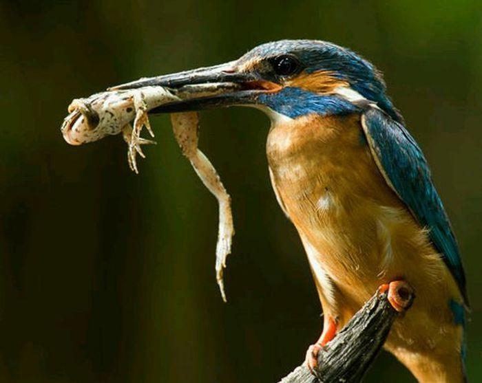 Зимородок на рыбалке (15 фото)
