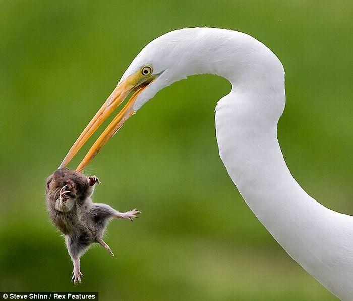 Аист ест крысу (5 фото)