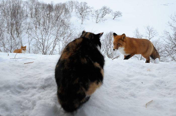 Кошка против лис (6 фото)