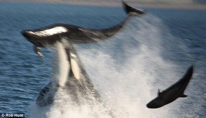 Касатка съела дельфина (3 фото)