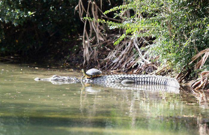 Лучший друг крокодила (11 фото)