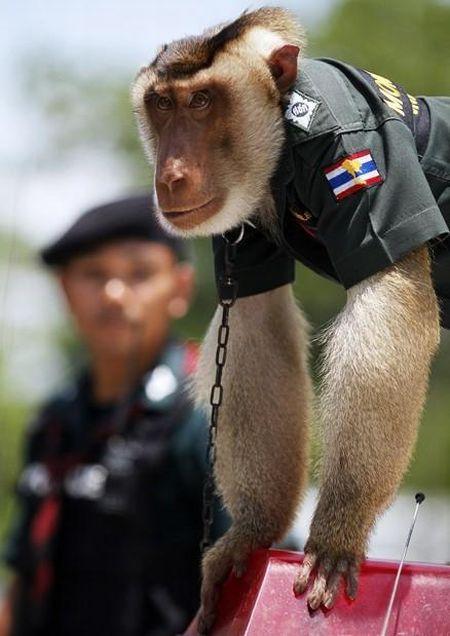 Макака-полицейский в Таиланде (9 фото)