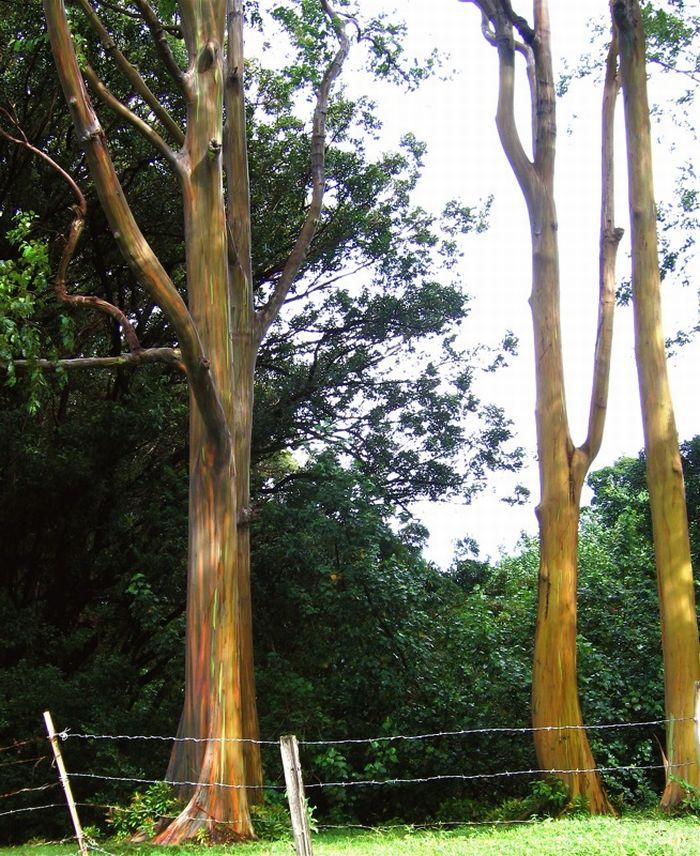 Радужный эвкалипт (7 фото)