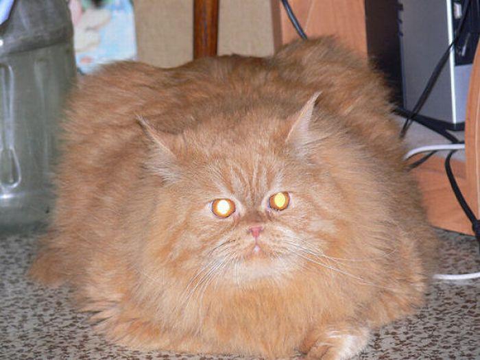 Пушистые жирные коты