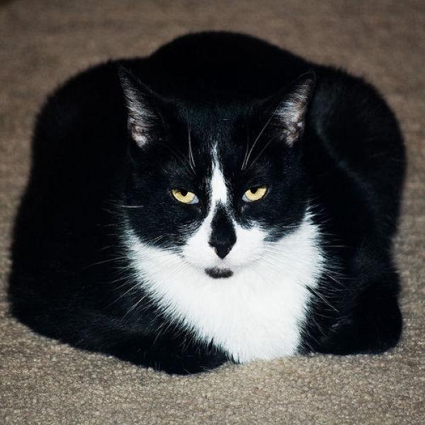Толстые коты (62 фото)