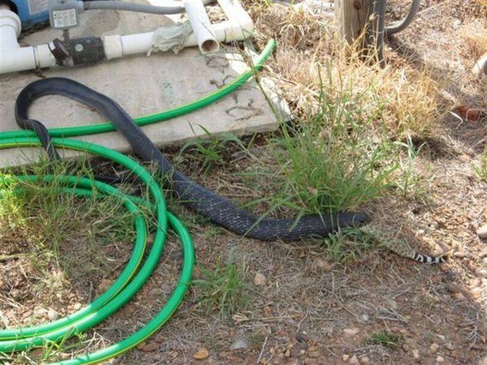 Змея съела другую змею (7 фото)