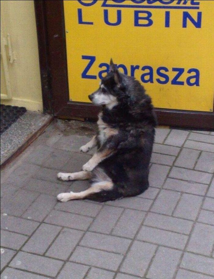 Собака, которая умеет сидеть как человек (4 фото)