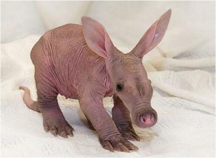 Симпатично-уродливые маленькие животные (55 фото)