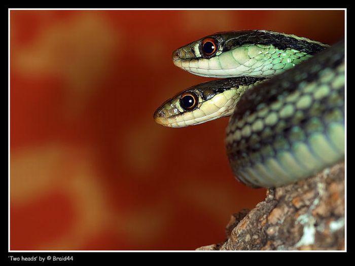 Двухголовые змеи (28 фото)