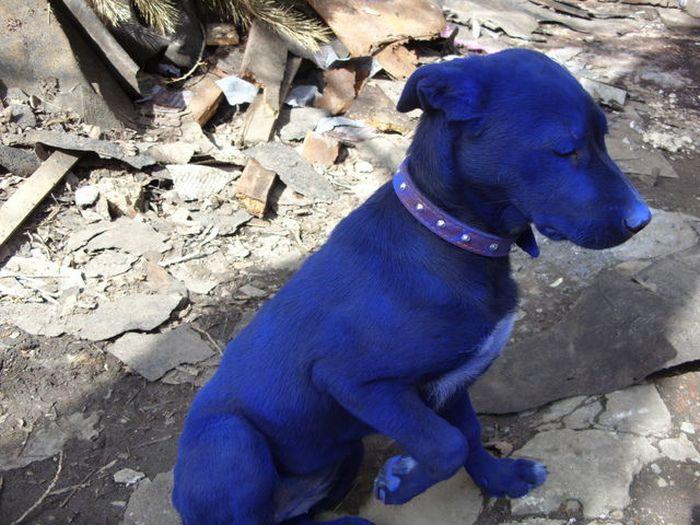 Синяя собака (7 фото)