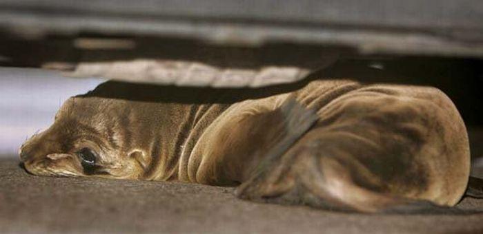 Маленький тюлень заблудился (4 фото)