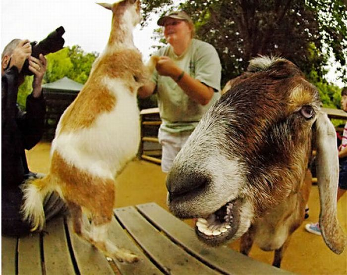 Смешные козлы (17 фото)