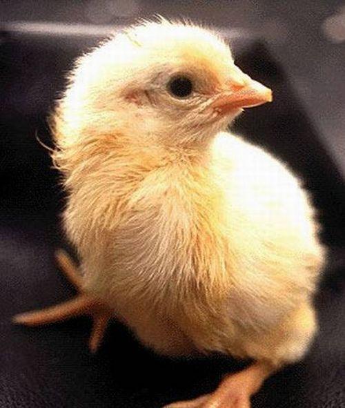 Эволюция цыпленка (19 фото)