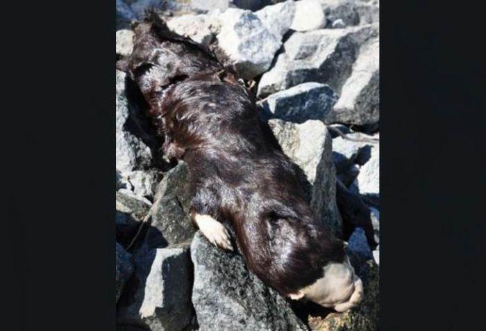В Канаде найдено странное животное (6 фото)