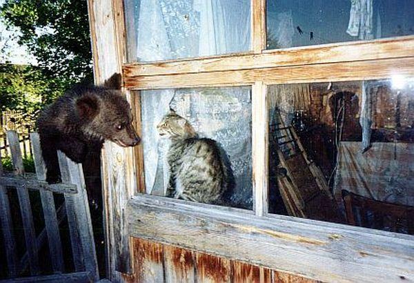 Смертельная схватка. Кот против медведя (1 гифка)