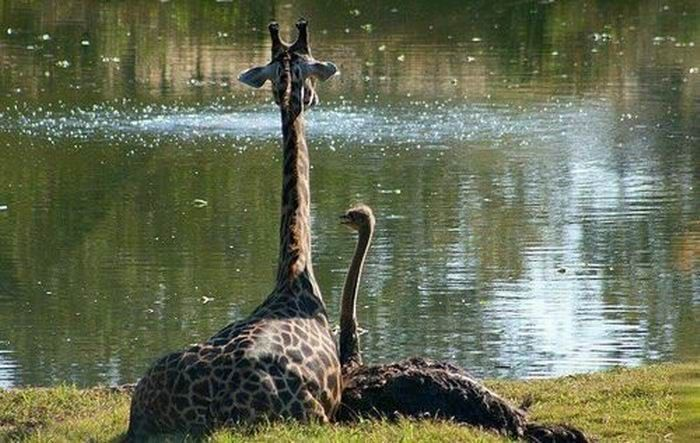 Это любовь? Жираф и страус (10 фото)