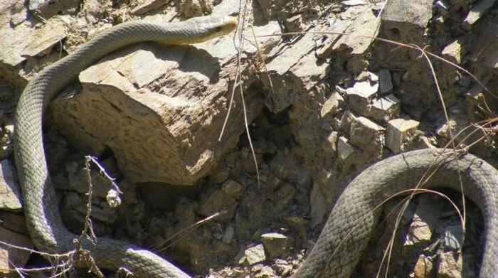 Как змеи занимаются этим (26 фото)