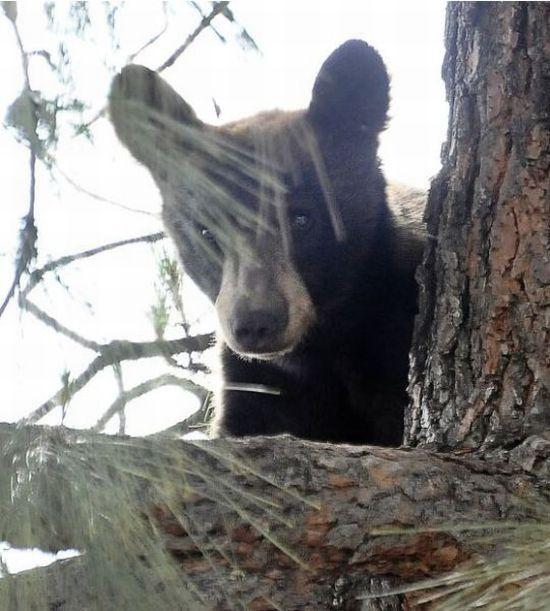 Спасение медвежонка (12 фото + видео)
