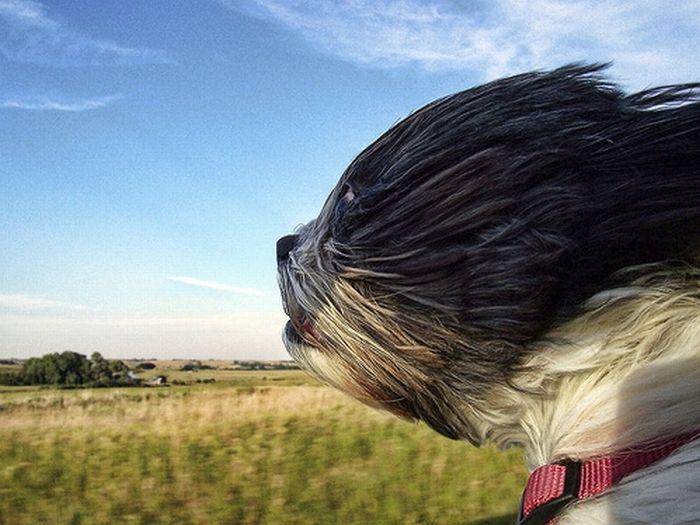 Собаки любят машины и ветер (15 фото)