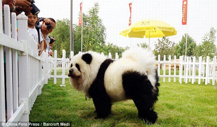 Собаки-панды и собаки-тигры из Китая (10 фото)