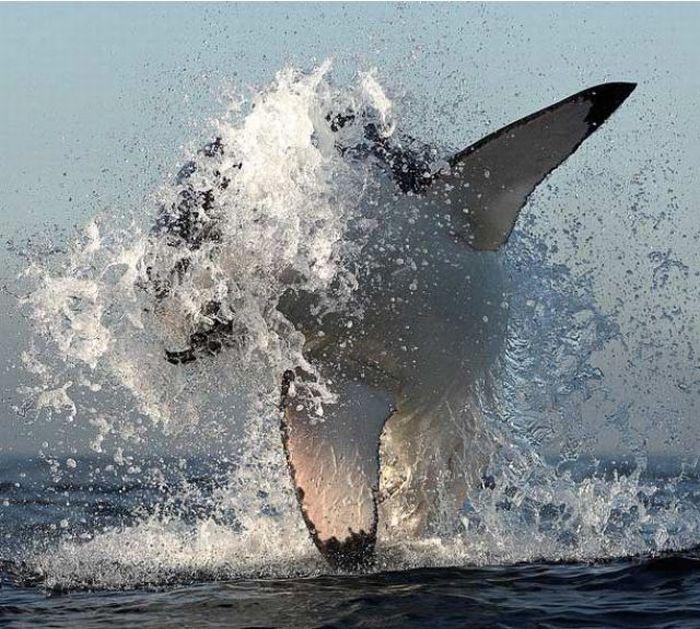 Белые акулы на охоте (9 фото)