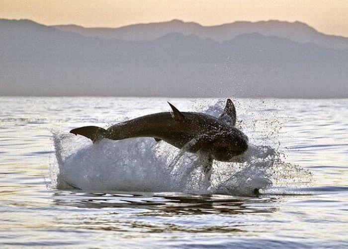 Одна из крупнейших хищниц на Земле - большая белая акула.