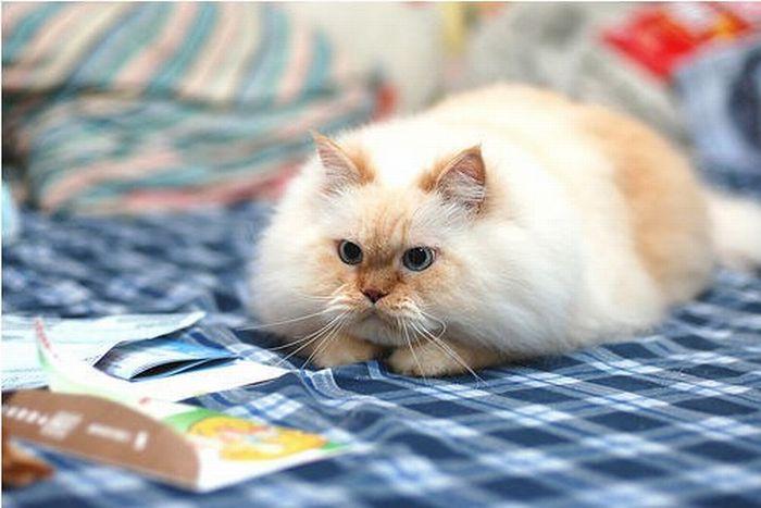 Прикольный гималайский кот (13 фото)