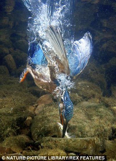 Зимородок кормит птенцов (6 фото)