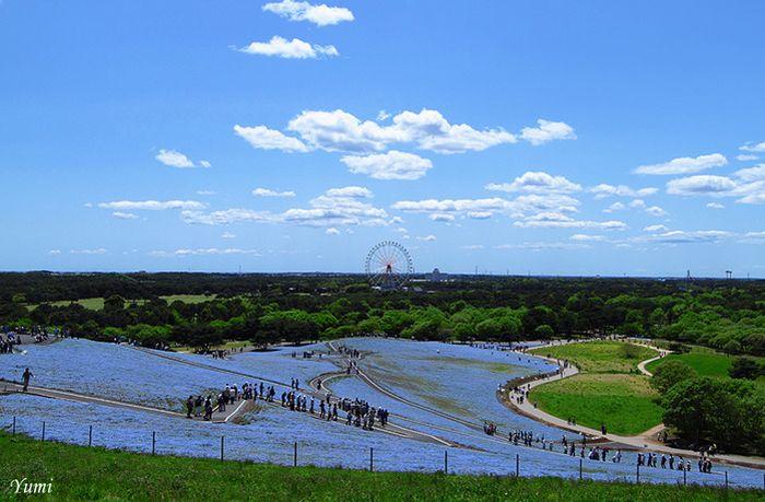 Красивый японский парк Hitachi Kaihin Park (16 фото)