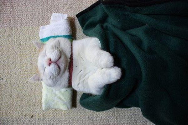 Shironeko - самый ленивый в мире кот.