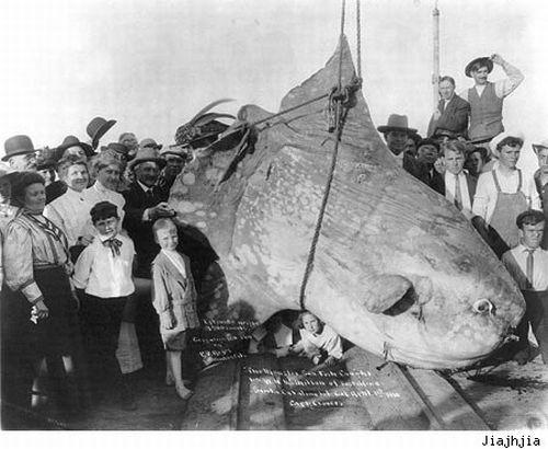Огромные рыбы (31 фото)