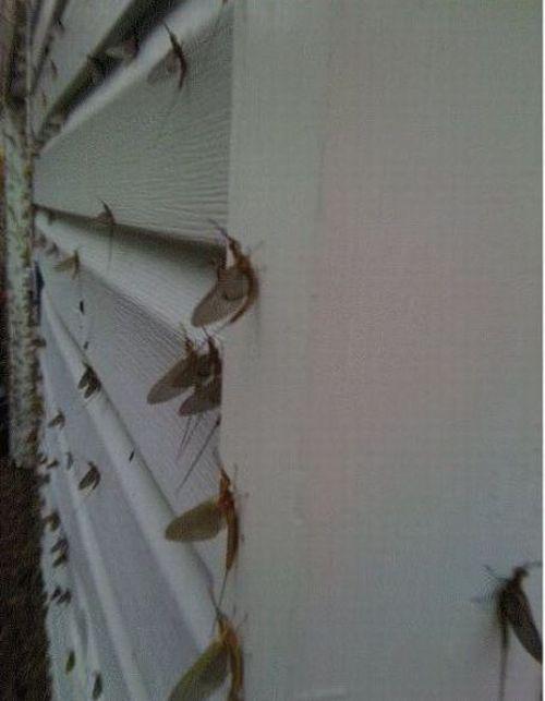 Фу дня. Мухи-однодневки оккупировали дом (5 фото)