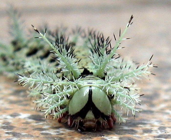 Самая опасная гусеница в мире (6 фото)