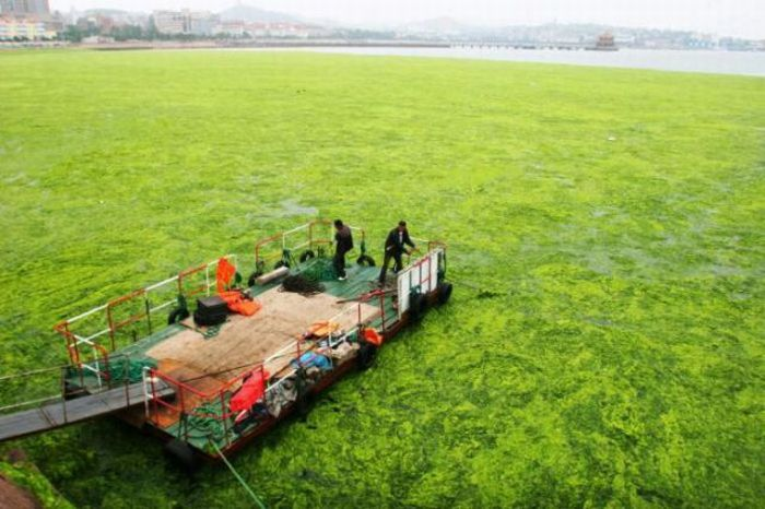 Водоросли захватили Китай (18 фото)