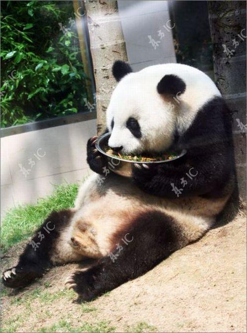 Самая старая гигантская панда (9 фото)