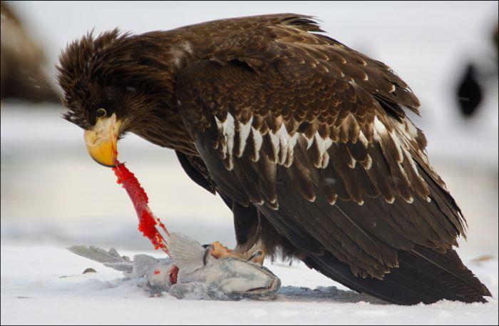 Медведи и белоплечие орланы на рыбалке (31 фото)