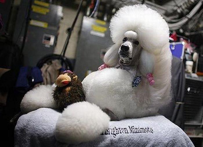 Худшие собачьи прически (49 фото)