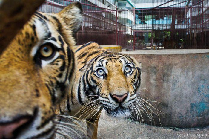 Ферма тигров в Таиланде (20 фото)