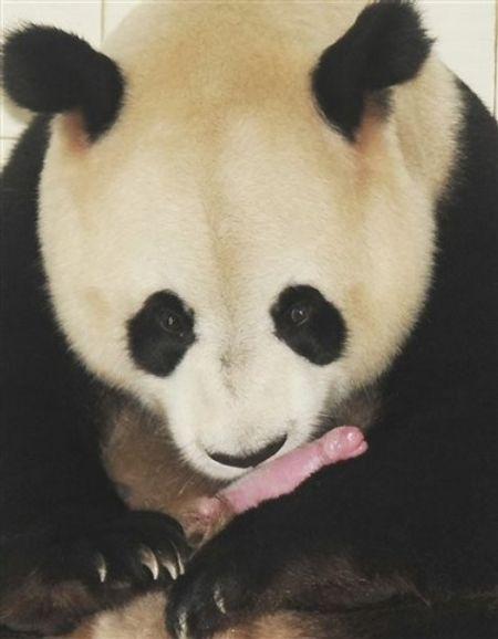 Панда и новорожденный медвежонок (4 фото)