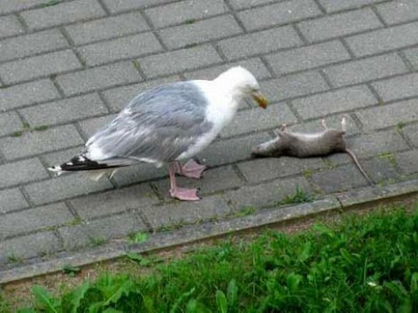 Чайка проглотила крысу целиком (5 фото)