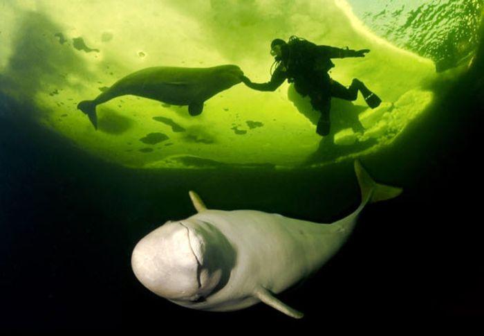 Заплывы с белухами (15 фото)