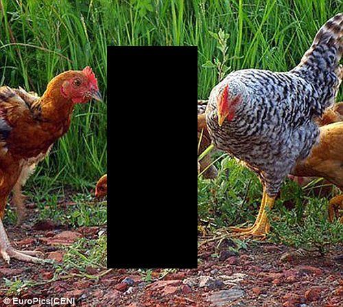 Курица, которая думает, что она пингвин (3 фото)