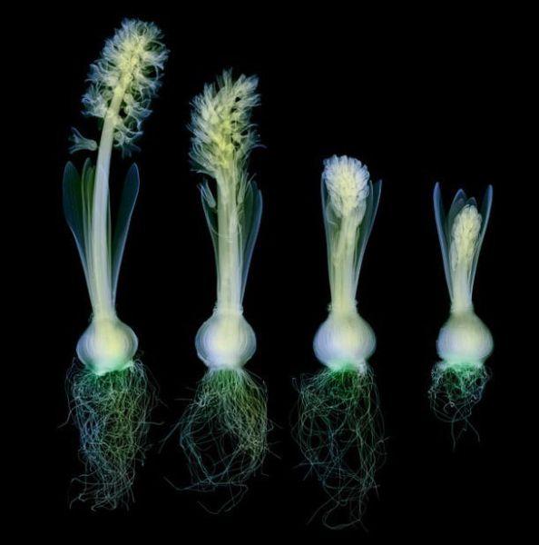 Рентгеновские снимки цветов (19 фото)