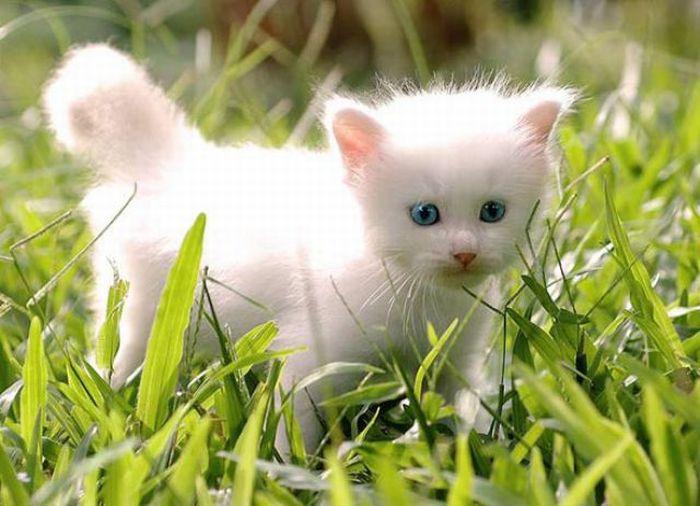 Белый котенок с голубыми глазами (8 фото)