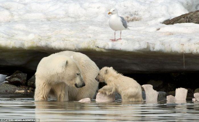 Белый медвежонок упал в ледяную воду (4 фото)