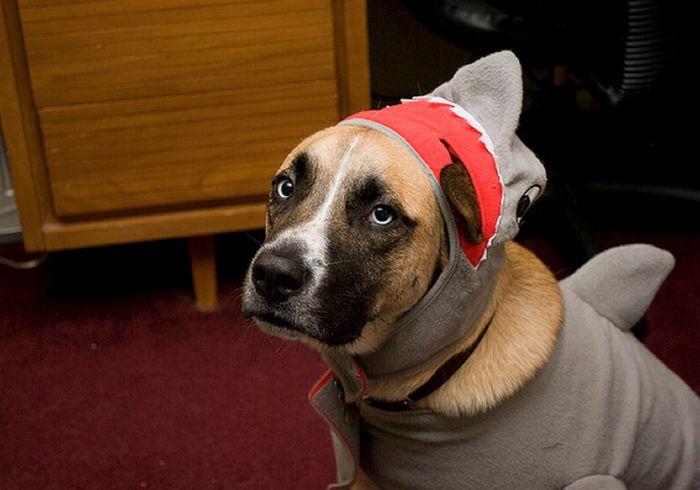 Коты и собаки в костюмах акул (23 фото)